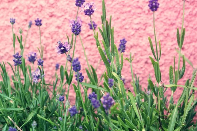 lavendeldrömmar och lavendelsocker